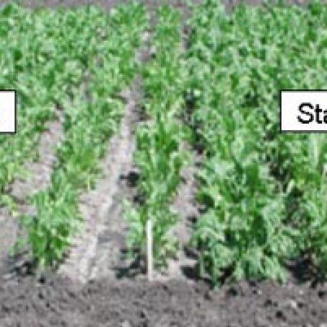 p-starter-sugarbeets