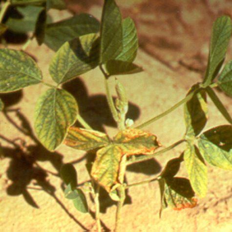 soybeanzn