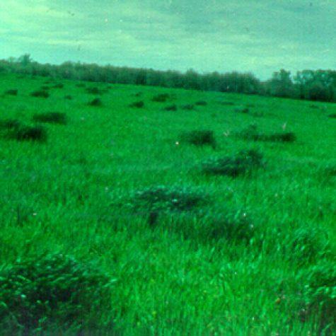 wheatcowmosaic2