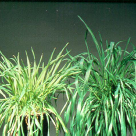 wheats